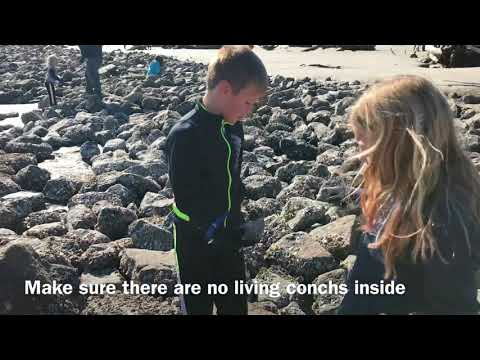 Conch shells at Driftwood beach