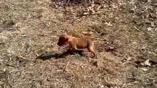 Miniature Pinscher 4 Weeks First Time Outside Howling