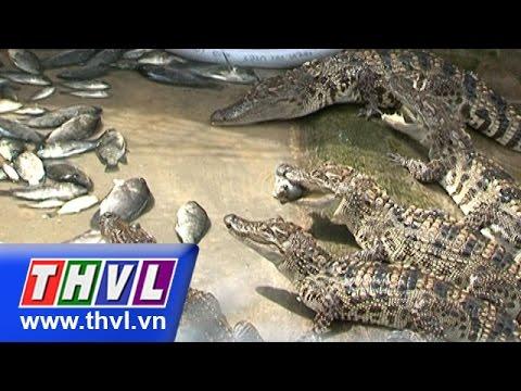 THVL | Nông dân miền Tây – Kỳ 69: Hợp tác nuôi cá sấu