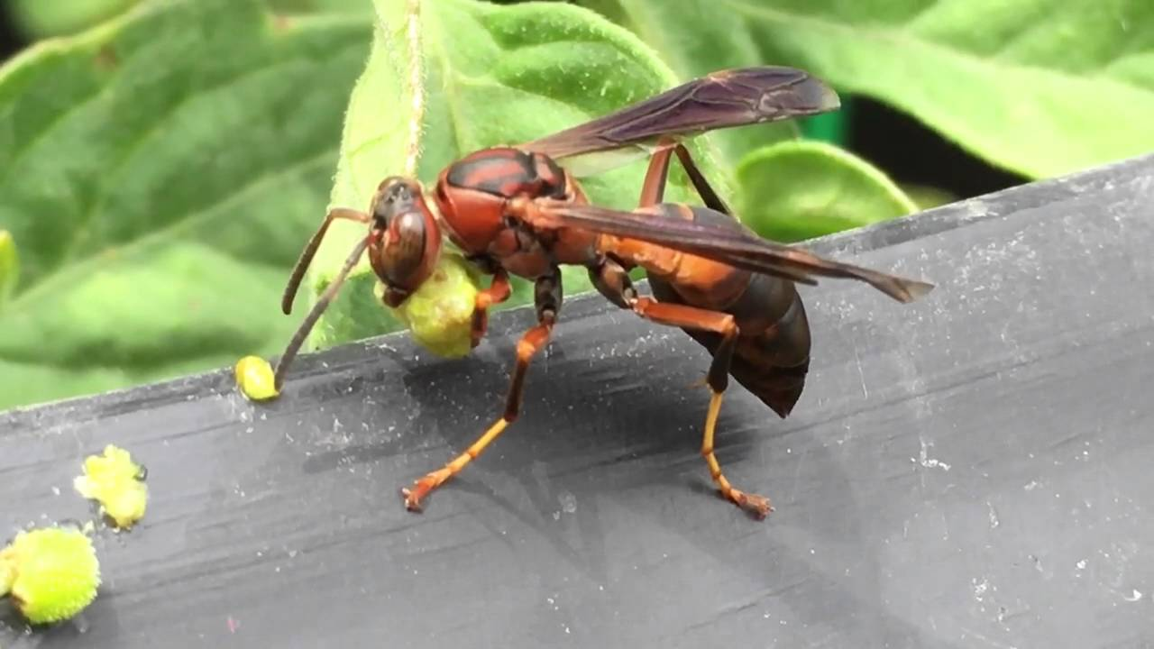 red wasp eating a caterpillar youtube