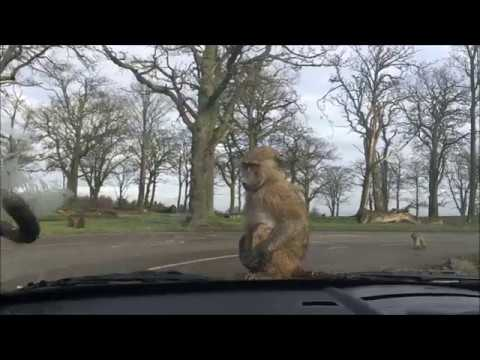 Knowsley Safari Park Feb 2017, Baboons, destroying our car,  funny