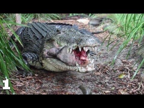 Крокодил поедает кабана, гиппопотама, черепаху.