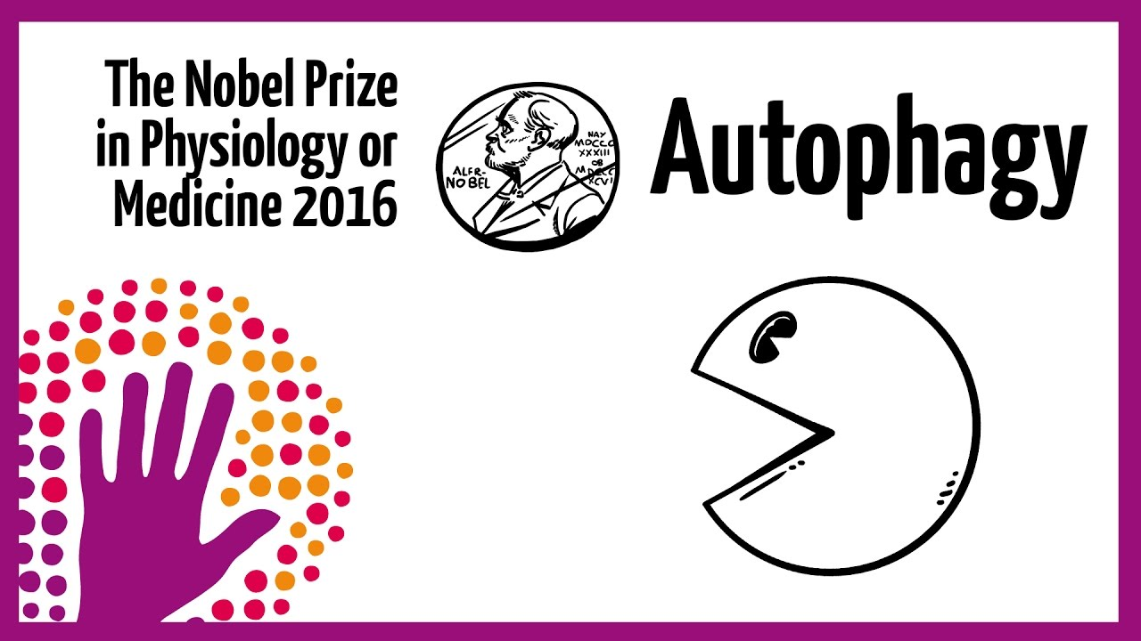 Autophagy - Nobel Prize in Physiology or Medicine 2016 ...