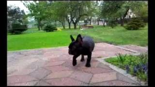 French Bulldog Buldog Francuski