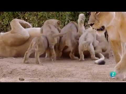 Grandes documentales Cazadores de África: El inadaptado