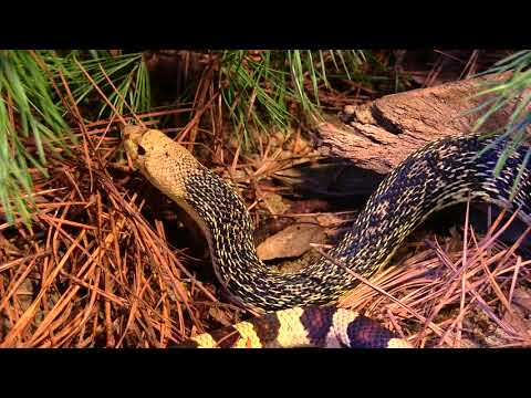 Endangered Louisiana Pine Snake