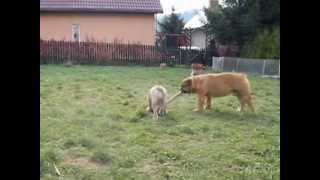 azja maf- bull