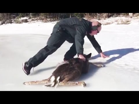 Adorable Baby Deer and Coast Guard Rescuer Scramble to Get Off Ice