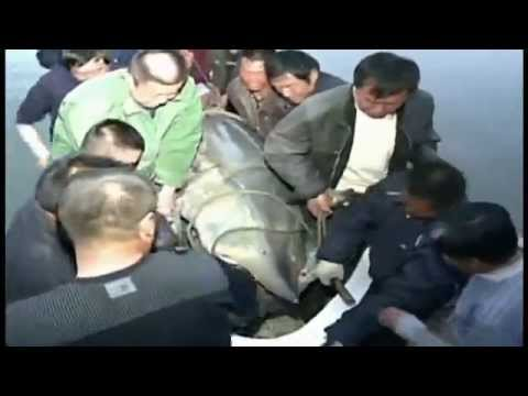 Chinese Fishermen Reel In 1360-Pound Sturgeon! - Raw Video