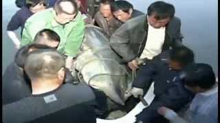 Chinese Fishermen Reel In 1360-Pound Sturgeon! - Raw Video