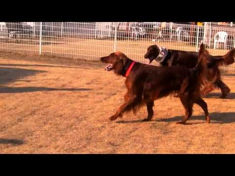 Surfing Dog Irish Setter [ Pino ]20111229