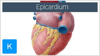 Epicardium - Definition, Function & Anatomy - Human Anatomy |Kenhub