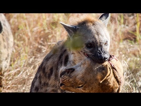 Heyna Kills Lion | Hyena Attack Lion,Crocodile,Buffalo,Leopard,Hippo#Hyena