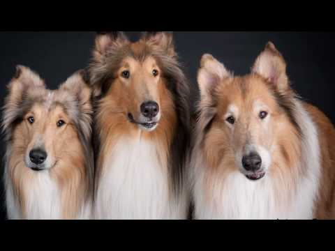 THERAPY COLLIES