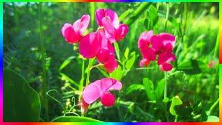 Природа родного края Полевые цветы Видео релакс