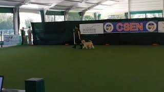 IULIUS PLANUS PATATINA FRITTA   Dog Dance  (Soft Coated Wheaten Terrier)