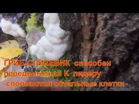 Вопрос: Чем отличаются слизевики от обычных грибов?