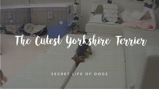 The Cutest Yorkshire Terrier Puppy | Furbo Dog Camera