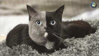 Двуликий кот с серо-чёрной мордой стал звездой в Сети