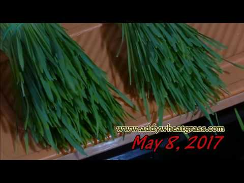 Second Harvest of WheatGrass Tray - See the results