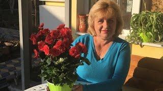 видео Бегония вечноцветущая: фото, посадка, выращивание и уход в домашних условиях