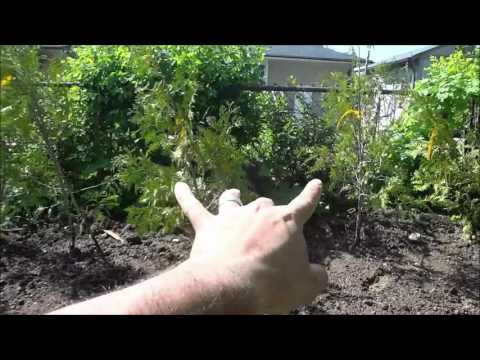 Creating Backyard Privacy With Swamp Cedar Hedging