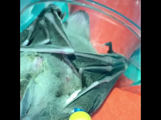 Fruit Bat rescue