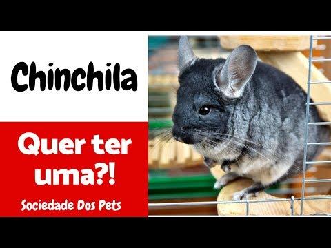 Chinchila  Guia básico - Sociedade dos Pets
