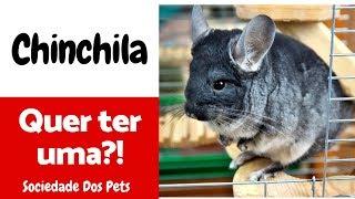 Baixar Chinchila | Guia básico - Sociedade dos Pets