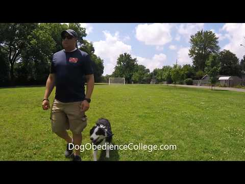 Luna Australian Shepherd Dog Obedience College Memphis