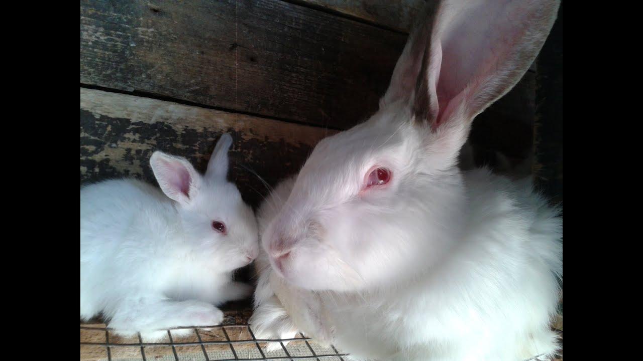 кролики русские великаны белые их фото ролики тегами