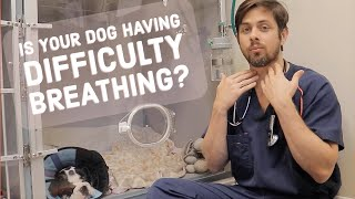 Difficult Breathing in Dogs | Hypoplastic Trachea