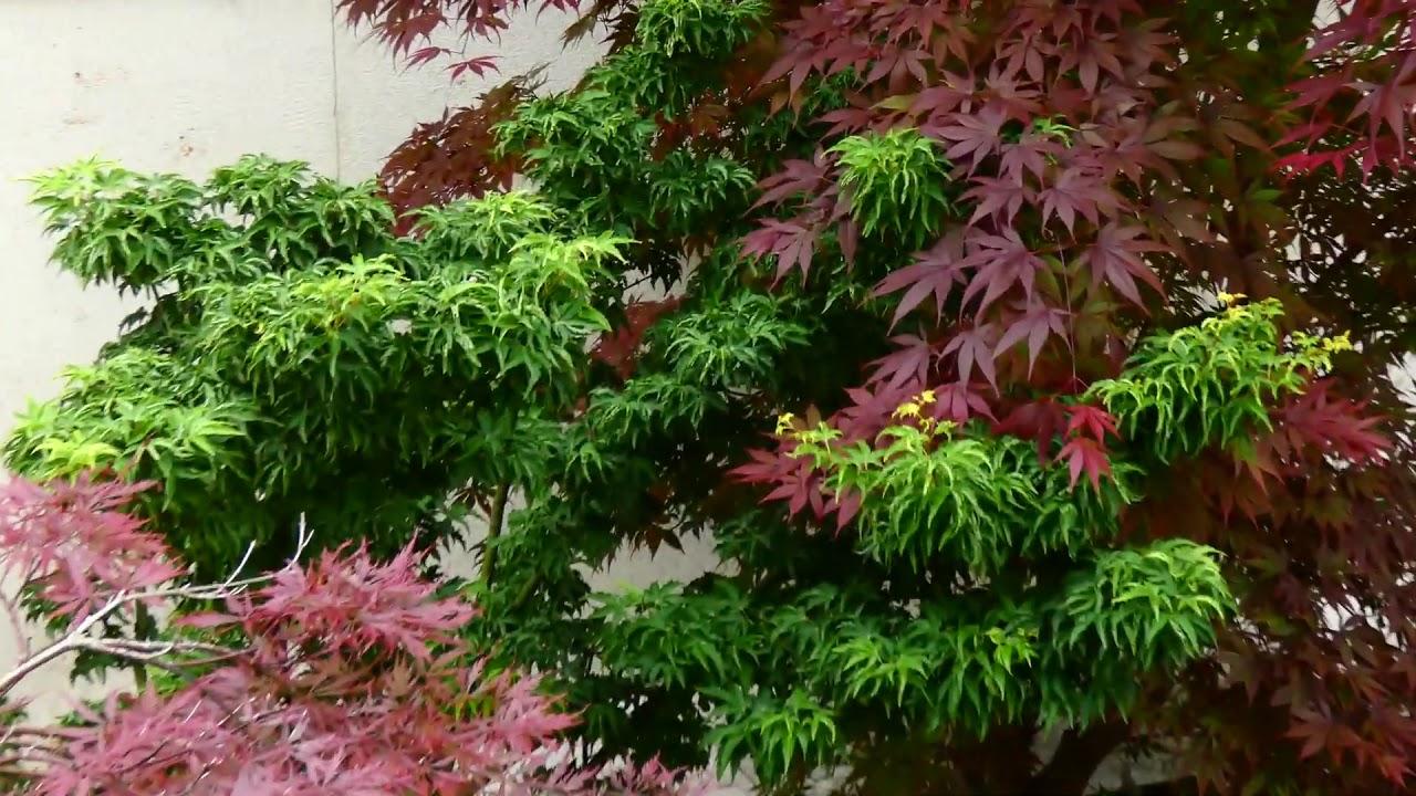 Fächerahorn Orange Dream  Acer palmatum Orange Dream im 9 cm Topf