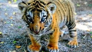 BABY TIGER!! See a Tiger Cub Up Close! |Ruby's Zoo