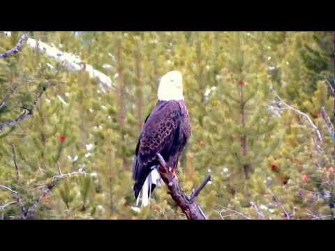 Bald Eagle on the Madison River in Yellowstone