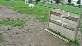 German Wire Haired Pointer Jumps At Agility Park