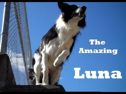 Luna the Amazing Border Collie - Awesome Tricks