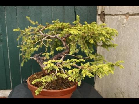 Picea glehnii - Sakhalin or Glehn spruce