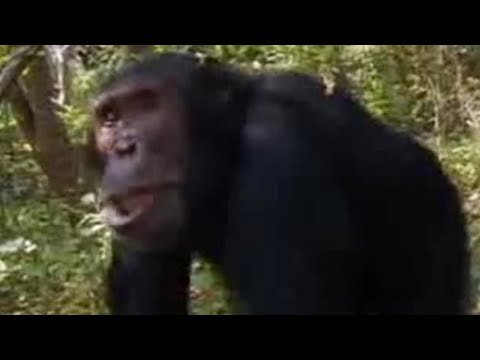 Wild chimpanzees in the jungle struggle for leadership - BBC wildlife