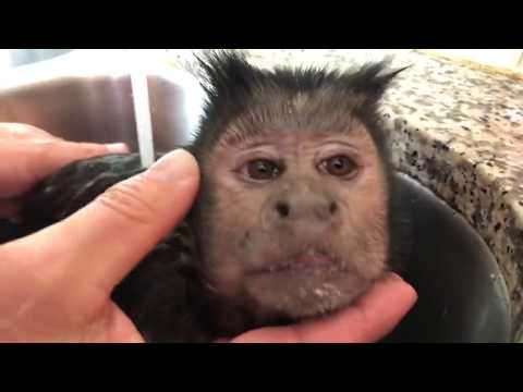 Capuchin Monkey Fruity HOT Bath! (CUTENESS OVERLOAD)