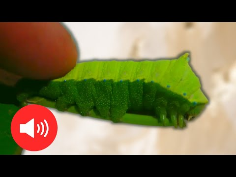 SQUEAKING Caterpillar! Cute! Rhodinia fugax