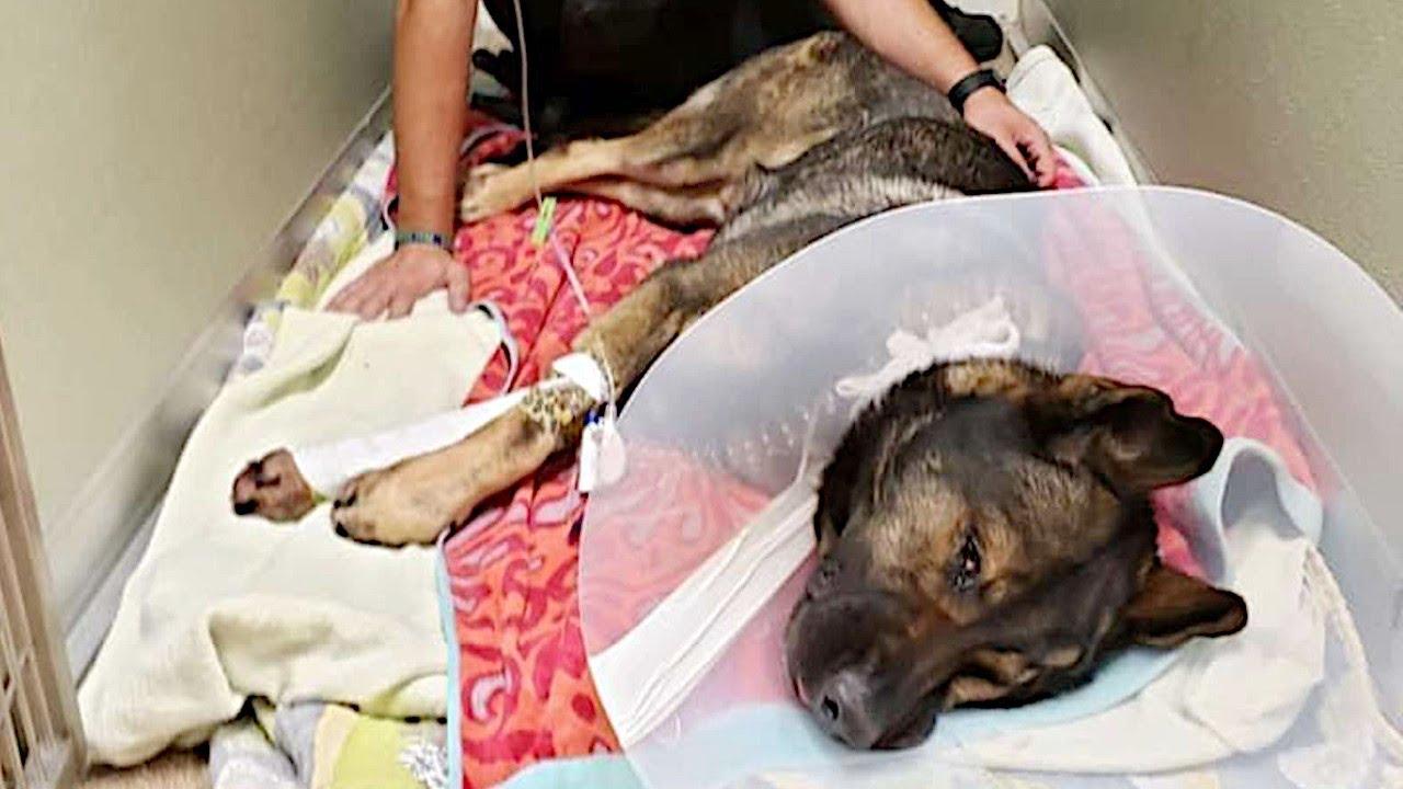 警察犬と警官の絆。任務中に負傷した警察犬にずっと寄り添う警官の固い絆に胸を打たれる【感動 動物】