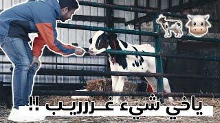 ليه كانت تبكي البقرة || 🐄 Why this cow was crying