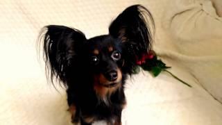 Собаки-ушастики: порода Русский той терьер длинношерстный