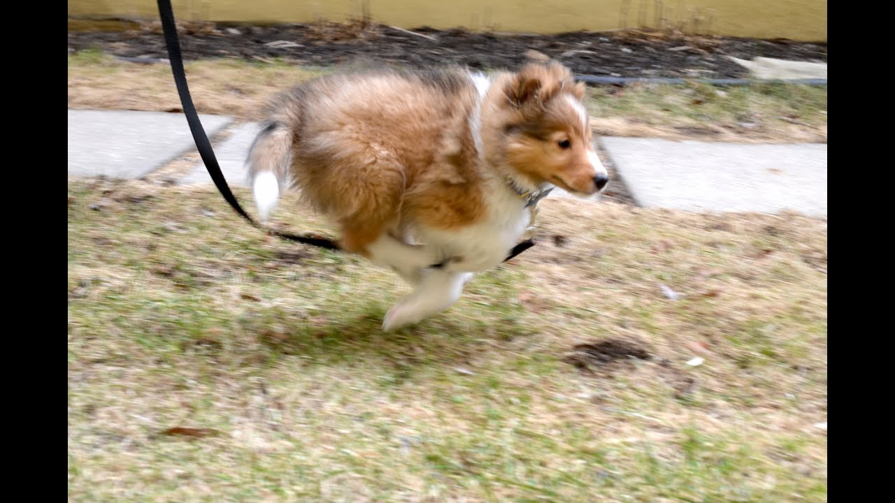 Cutest Sheltie Puppy In The World First Run Youtube