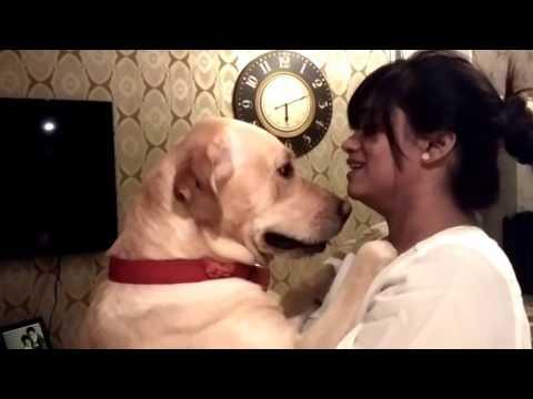 Funny Labrador video: Reacting to \