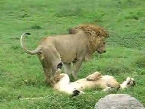 Lions making love - YouTube