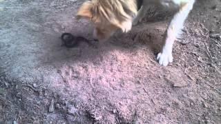 Гадюка укусила собаку