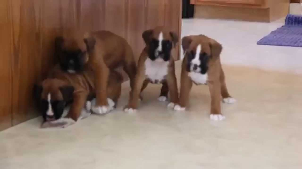 Boxer Puppies For Sale Youtube