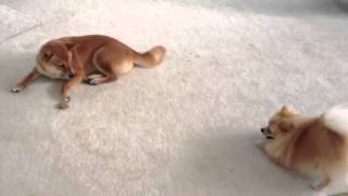 Clever Shiba Inu Ellie Uses Dog Biscuit To Fish For Pomerainian Mr. Jack - Must Watch